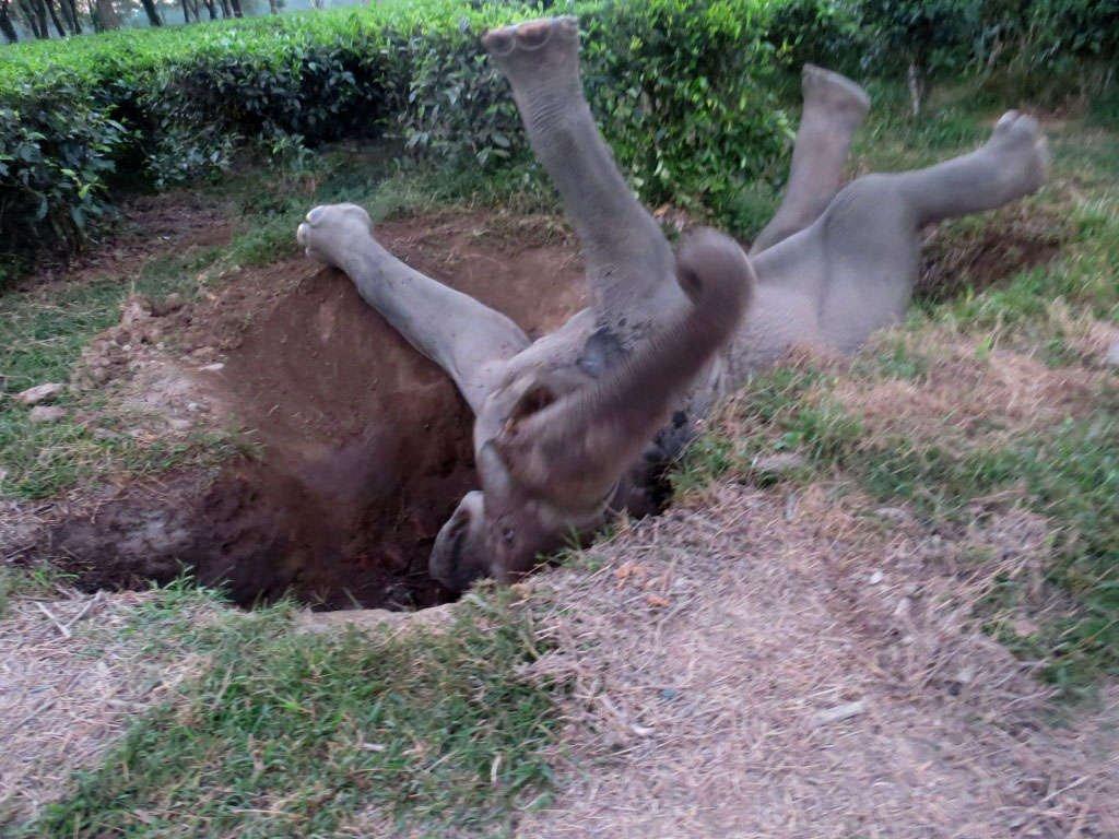 Elephant Rescue Operation at Hattigor Tea Estate