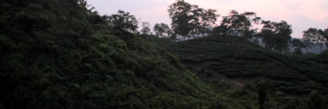 Haanthi Parbath Difloo Tea Estate